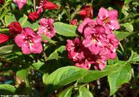 Weigela florida 'French Lace' - vajgélie