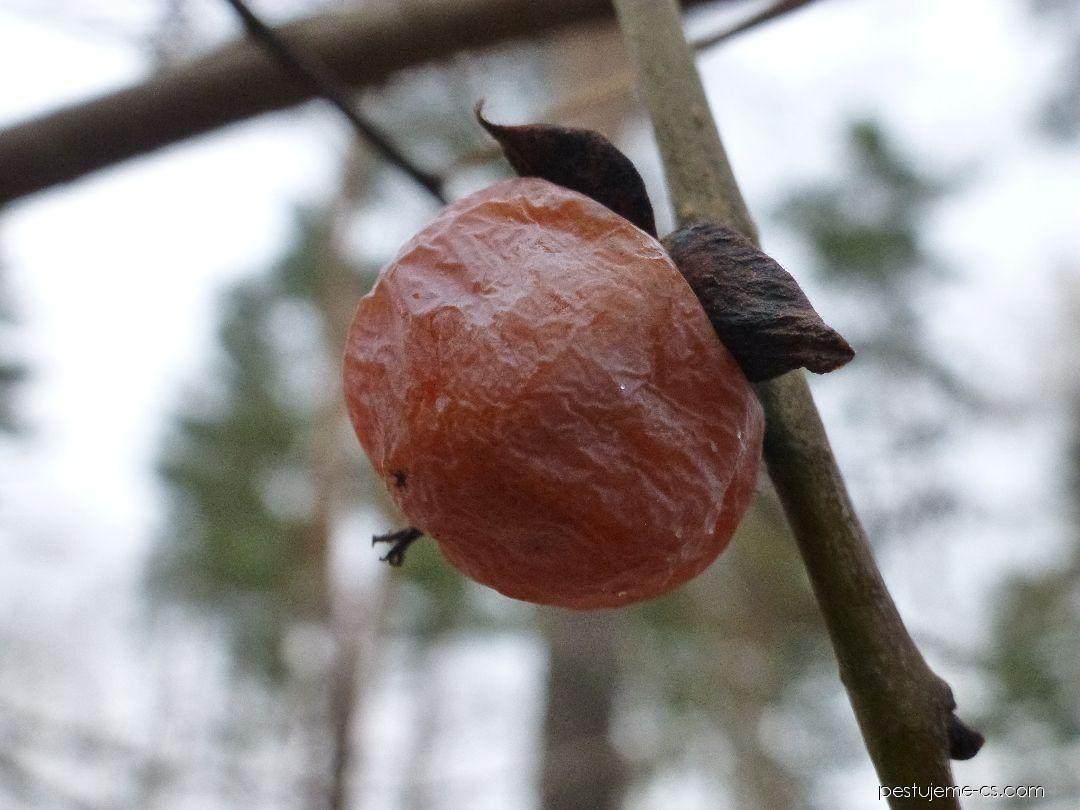 Tomel viržinský - větévka s plodem (Diospyros virginiana)