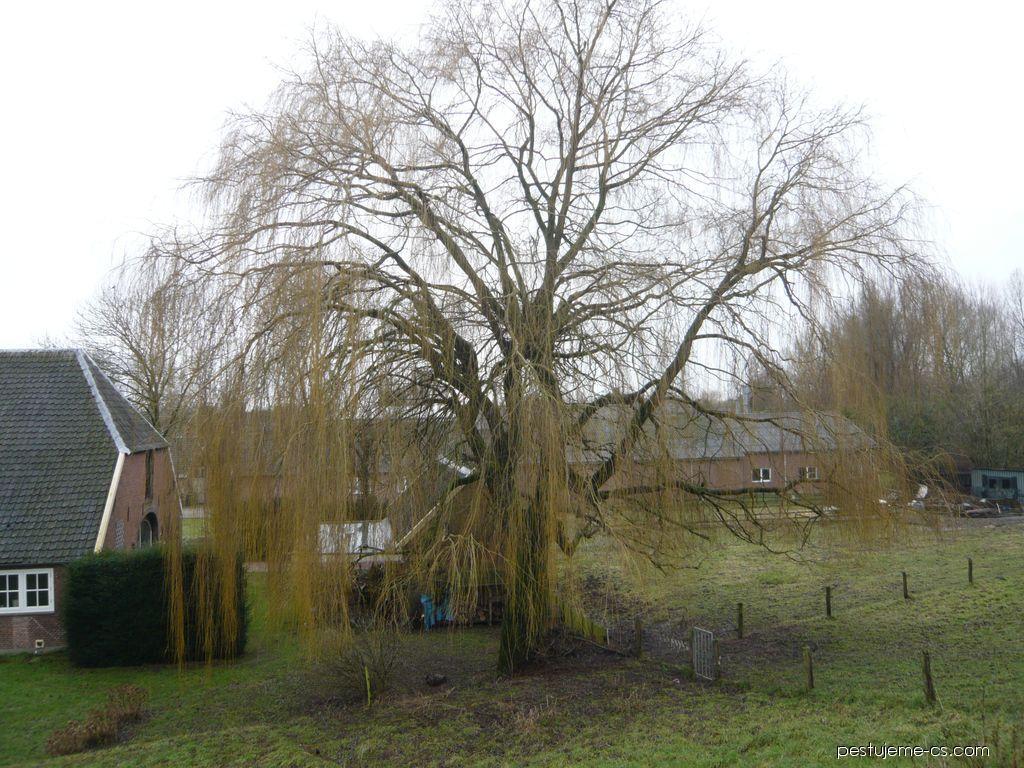 Vrba bílá v zimě (Salix alba)